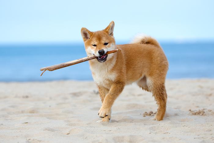 shiba inu puppy playing fetch