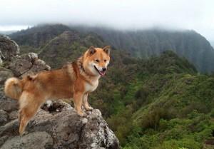 Shiba Inu hiking in green mountains