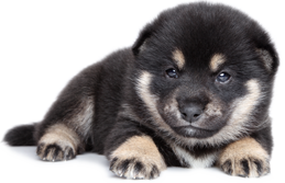 black shiba inu puppy