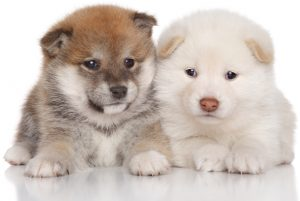 red and cream shiba inu puppies