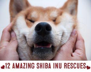 shiba inu rescues of 2016