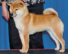 shiba inu breeders Copperdot Shibas Hana