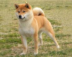 shiba inu breeders Copperdot Shibas Hideko