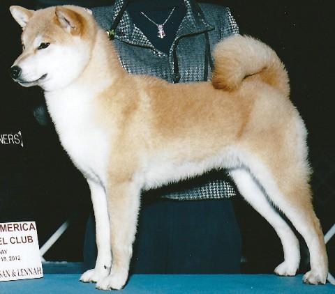 shiba inu breeders k-bar's Garth