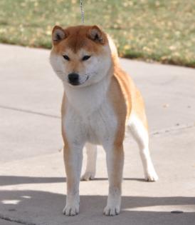 shiba inu breeder in south dakota