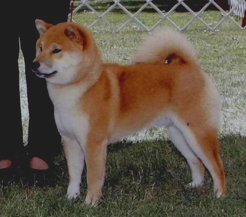 shiba inu breeders toshio