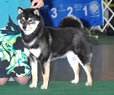 shiba inu breeder in washington