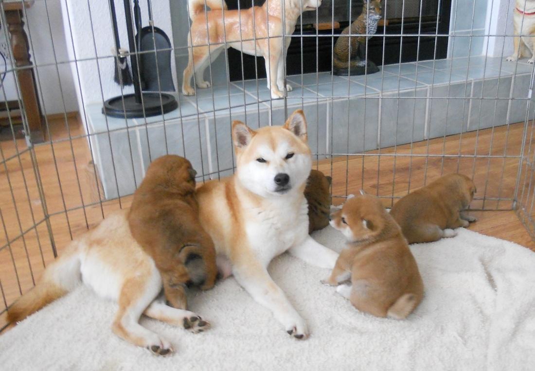 Shiba Inu Breeders Taichung
