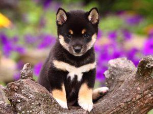 black and tan shiba inu puppy