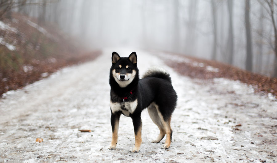 Black And Tan Shiba Inu Facts And Information My First