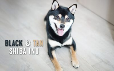 Black And Tan Shiba Inu Facts And Information