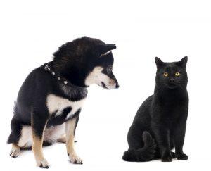 cat and black and tan shiba inu