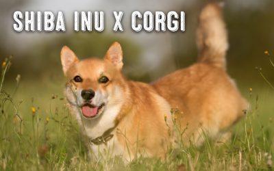 The Shiba Inu Corgi Mix