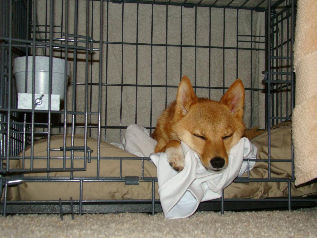 taro the shiba dog