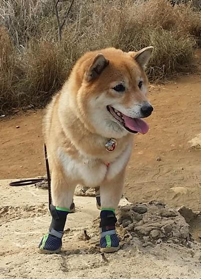 Walking Shoes For Shiba Inu