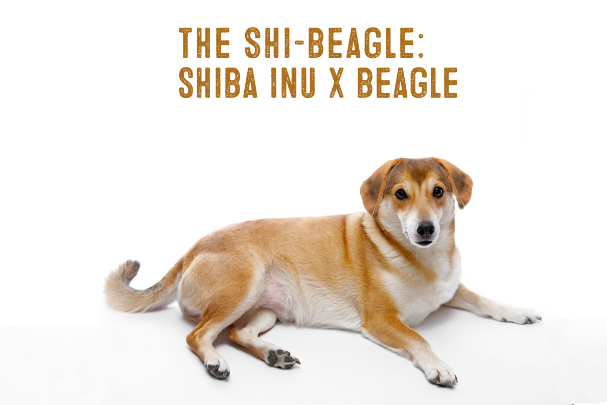 Shiba Inu Beagle Mix Facts And Information My First Shiba Inu