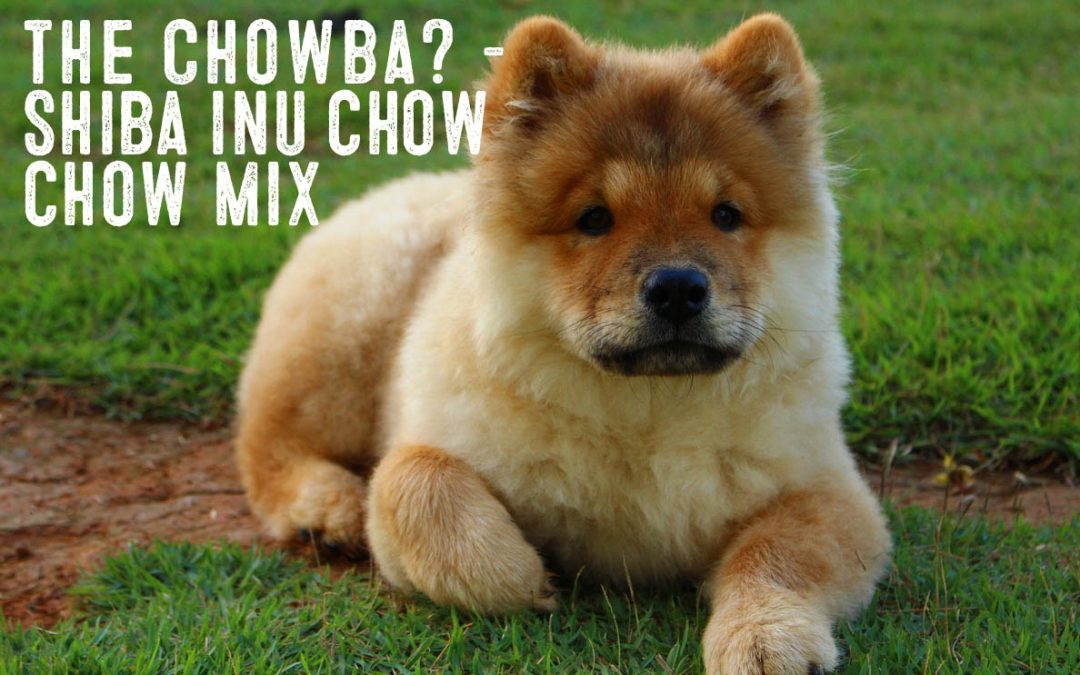 Shiba Inu Chow Mix – Information and Facts - My First ...