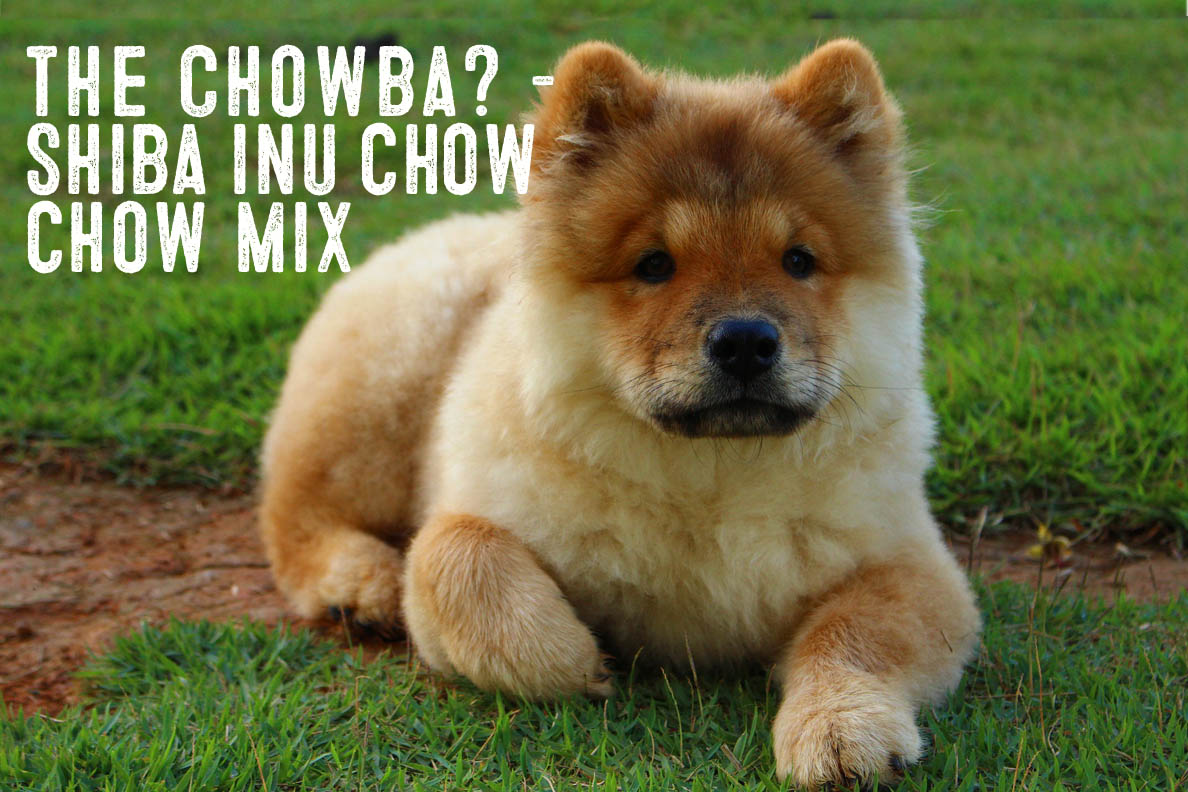 Shiba Inu Chow Mix – Information and Facts - My First Shiba Inu
