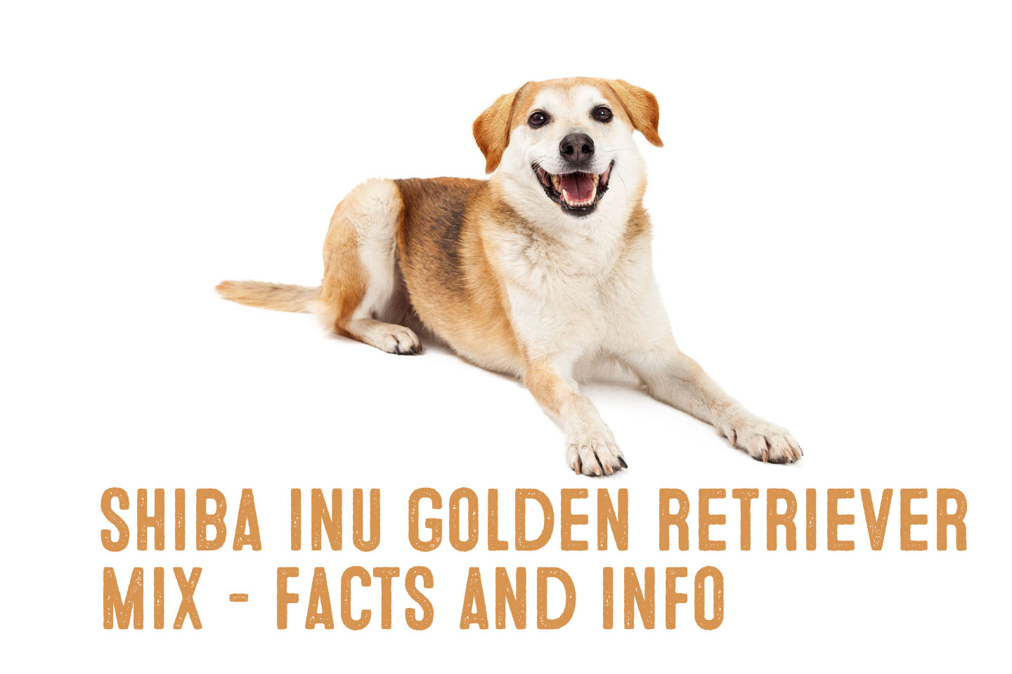 Shiba Inu Golden Retriever Mix Information And Facts