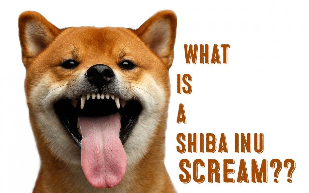What Is A Shibu Inu Scream My First Shiba Inu