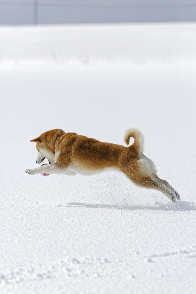 shiba inu hunting pouncing in snow