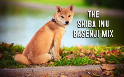 Shiba Inu Basenji Mix Facts and Information