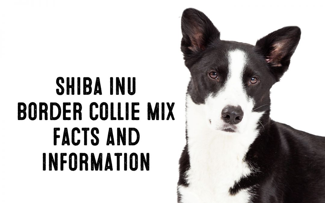 Shiba Inu Border Collie Mix – Information and Facts