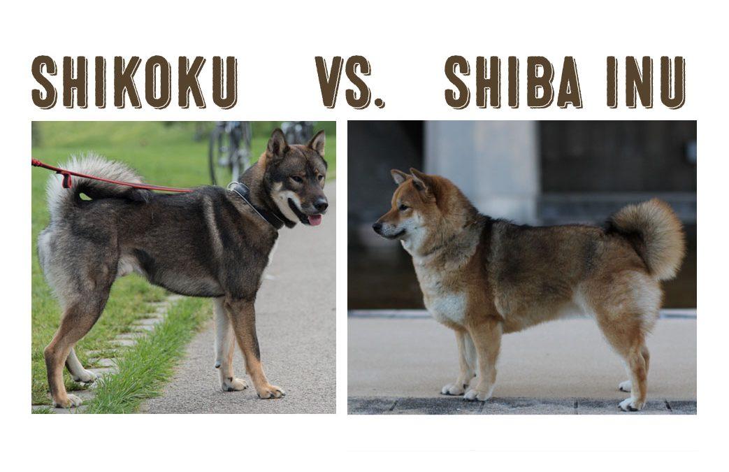 Shikoku Vs. Shiba Inu