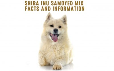 Shiba Inu Samoyed Mix Facts and Information