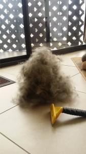 lots of shiba inu fur