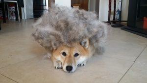 shiba inu shedding fur