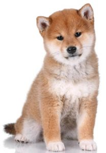 purebred shiba inu puppy