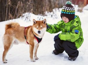 shiba inu with young child in winter