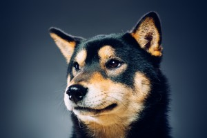 pensive black and tan shiba inu