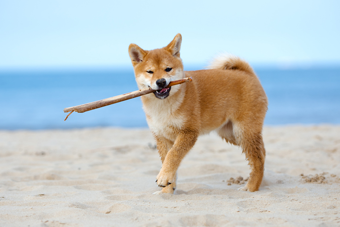 shiba inu puppy playing fetch