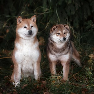 native shiba inu dogs in the wild
