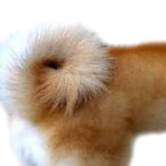 shiba inu sickle tail