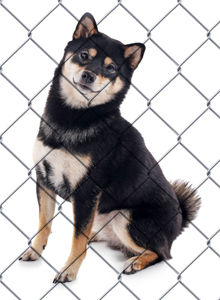 shiba inu in a shelter
