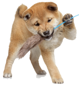 How Much Do Shiba Inu Puppies Cost My First Shiba Inu