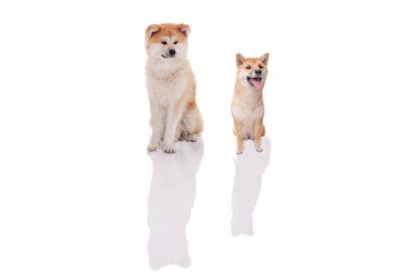 akita inu and shiba inu