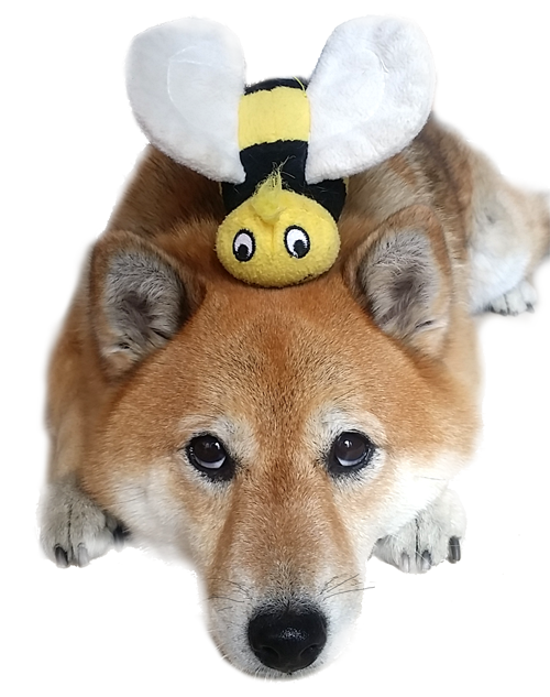 shiba inu dog with bee