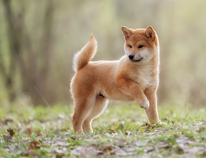 Beautiful Young Red Shiba Inu Puppy Dog - My First Shiba Inu