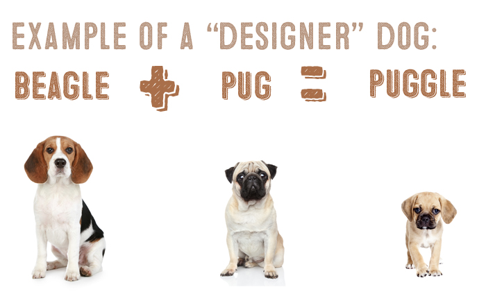 what is a designer dog