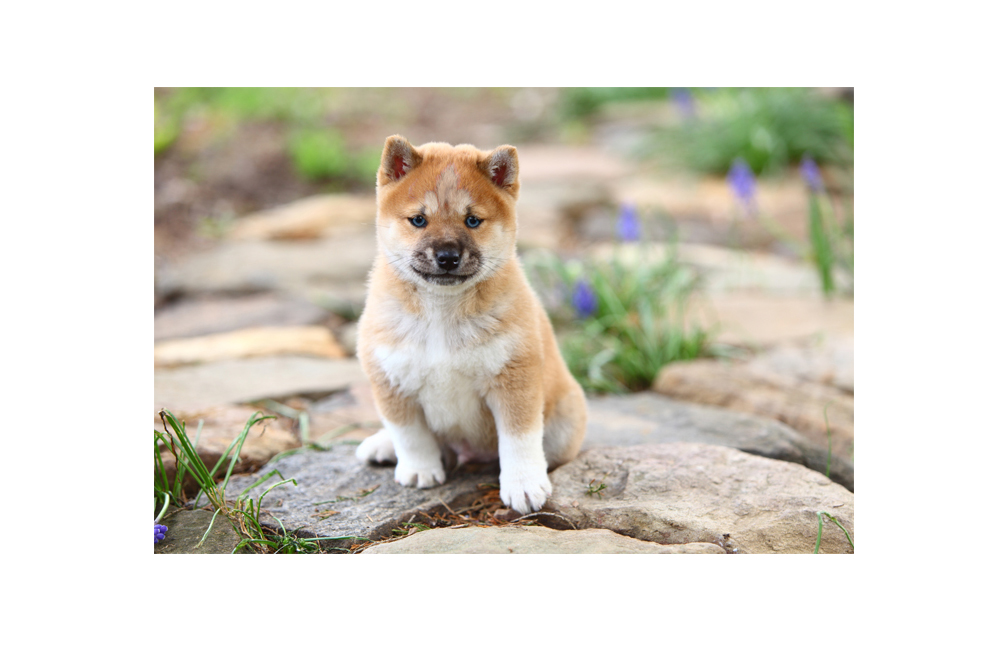What is a Husky Inu? Shiba Inu Husky Mix