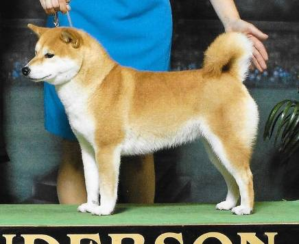 Shiba Inu Breeders Midwest East North Central My First Shiba Inu