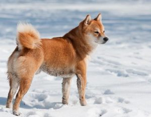The Shiba Inu Tail It S Curling Crown Of Confidence My
