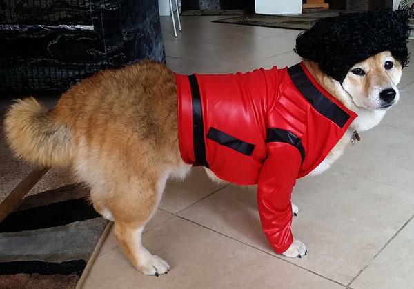 shiba inu dog in costume