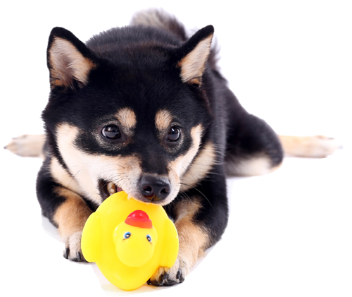 black and tan shiba inu playing with a rubber duckie