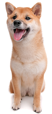 shiba inu sitting and smiling