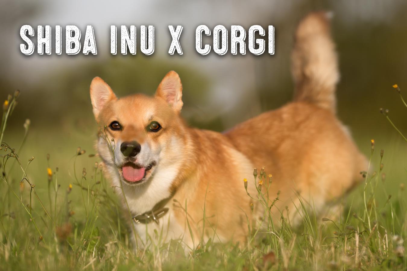 The Shiba Inu Corgi Mix My First Shiba Inu